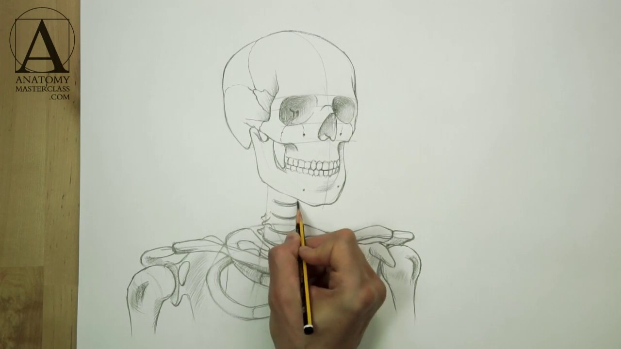 hight resolution of head neck and shoulders skeletal anatomy for figurative artists