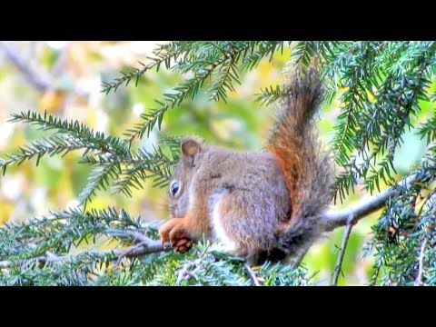 Red Squirrel Eating Hemlock Nuts