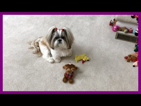 Lacey is playing with holiday toys ⛄🦌 | Cute Shih Tzu dog 🐾