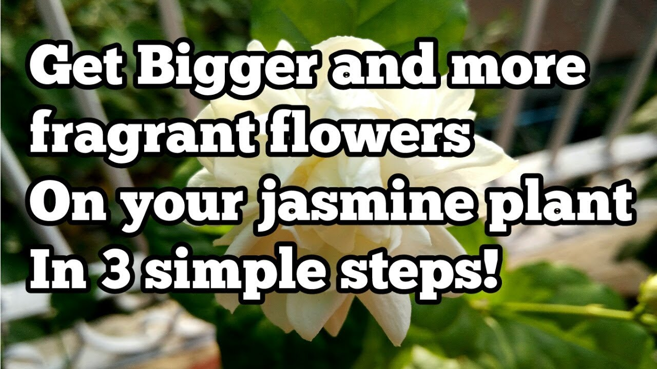 How to get big flowers on your jasmine plant in 3 simple steps how to get big flowers on your jasmine plant in 3 simple steps izmirmasajfo