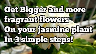 How to get big flowers on your jasmine plant in 3 simple steps!