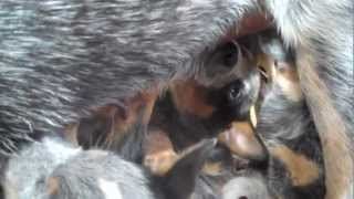 Australian Cattle Dog Puppies Nursed By Their Mother