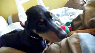 Nerria's First Ear Posting(doberman Pinscher)
