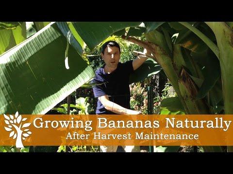 Growing Bananas Naturally - After Harvest Maintenance