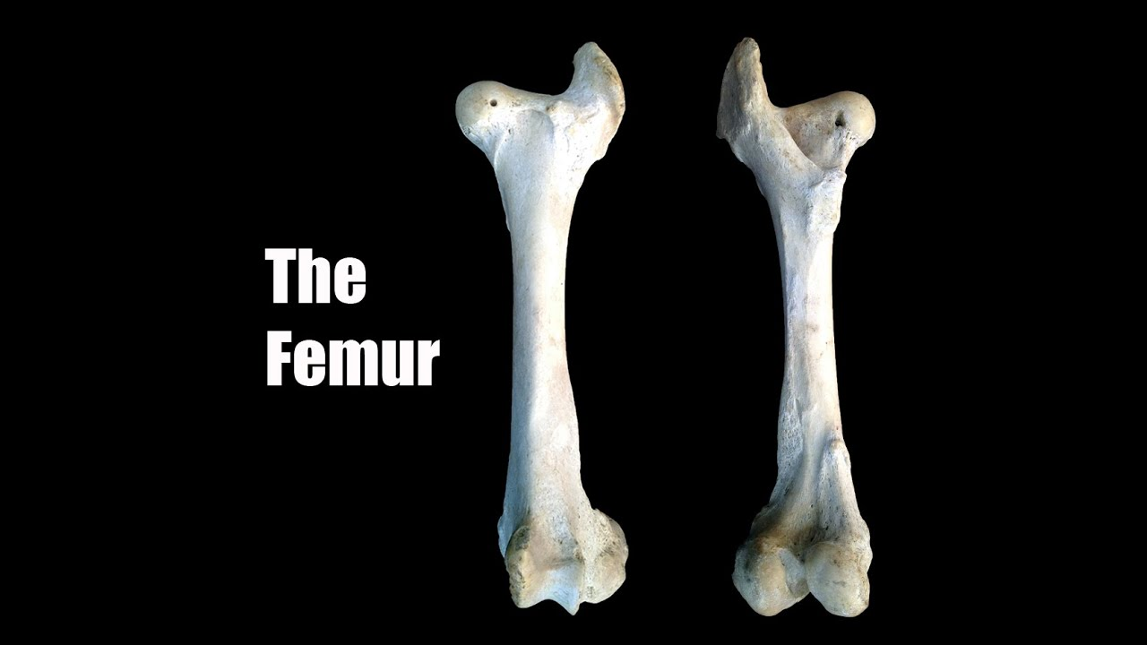 Anatomy of the femur of the domestic animals - YouTube