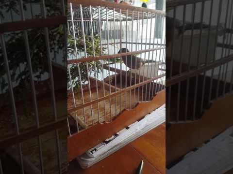 Guyana birds brown Towa towa  on my desk ( in training ) pt 1