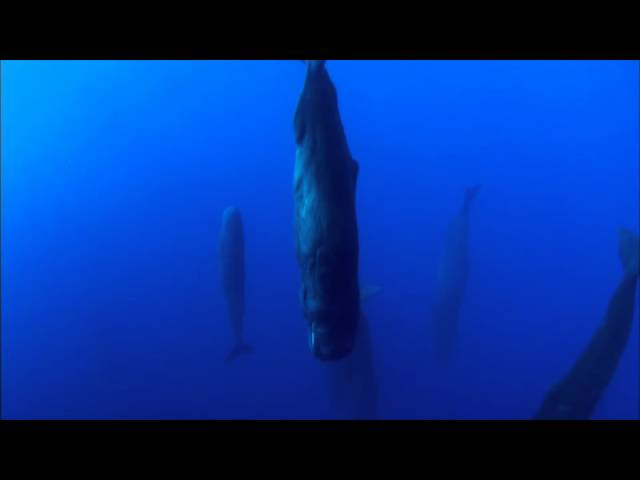 Sperm Whales Sleeping – Discovery Ch. Magic of the Blue