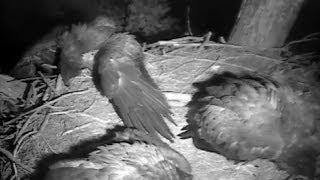 decorah eagles 6 14 14 owl attacks eaglets on nest
