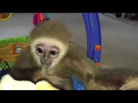 Cute baby Gibbon learns to walk