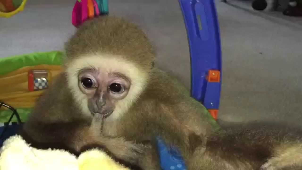 Cute baby Gibbon learns to walk - YouTube