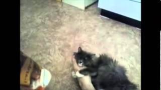 Самая преданная кошка в мире