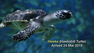 The Story of Louie and Hawke at S.E.A. Aquarium