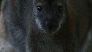 Les improbables kangourous de la fôret de Rambouillet
