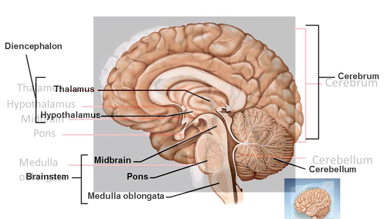Bio201 Chapter 14 part 1 (Intro to the brain, surface anatomy) - YouTube