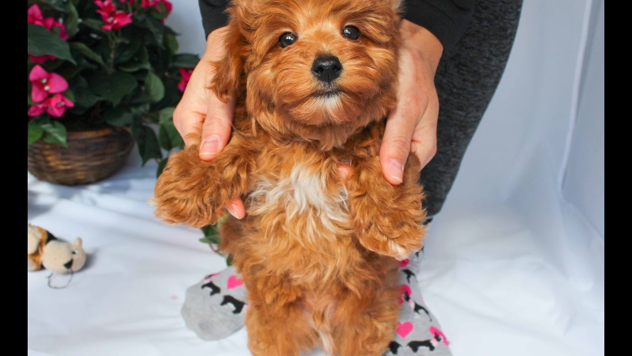 Red Apoo Puppies Goldenacresdogs