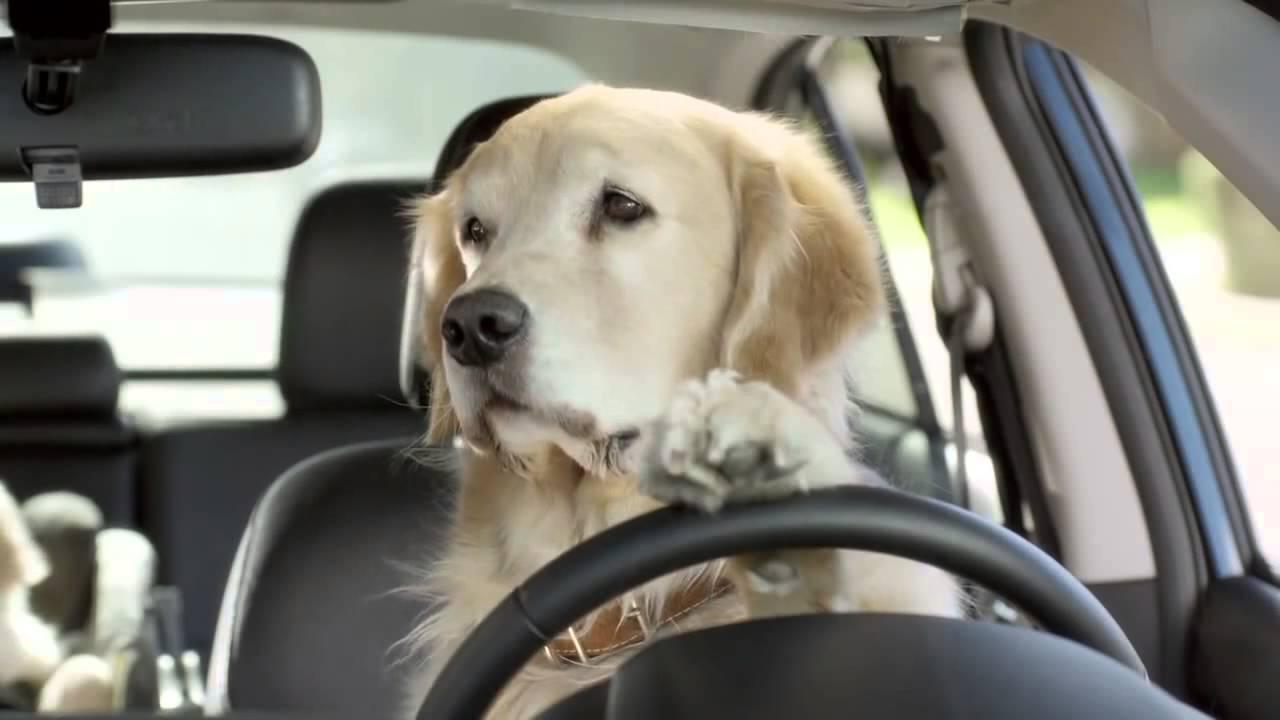 Resultado de imagem para cão dirigindo