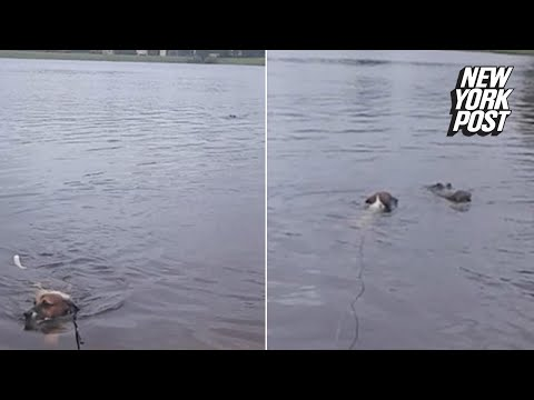This clueless dog swam inches from an alligator's jaws | New York Post
