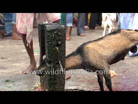 Brahmin Hindu pandit slaughters goat : Durga Puja Bali or sacrificial offering in Bihar