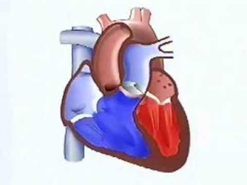 Video Biologia - Fisiologia - O coração, por Prionyx