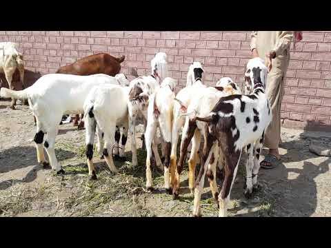 Rajan Puri bakriya Mohammed Puri prakriya goat farm Mohammad Pur Mandi  rajanpur Mandi Mandi wala goa by Animal Family Goat Farming Bakra Mandi  Pakistan