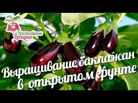 Кипарис: уход в домашних условиях,тонкости размножения и