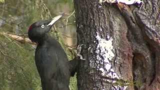 HACKSPETTAR  Woodpeckers  Klipp - 1537