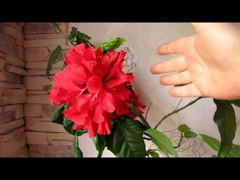 Китайская роза (гибискус). Уход. Как заставить цвести!