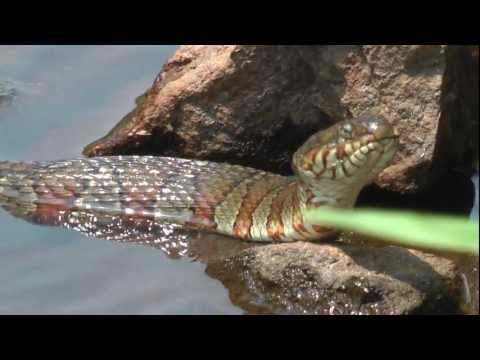 Northern Water Snakes on the prowl in Marlborough, MA