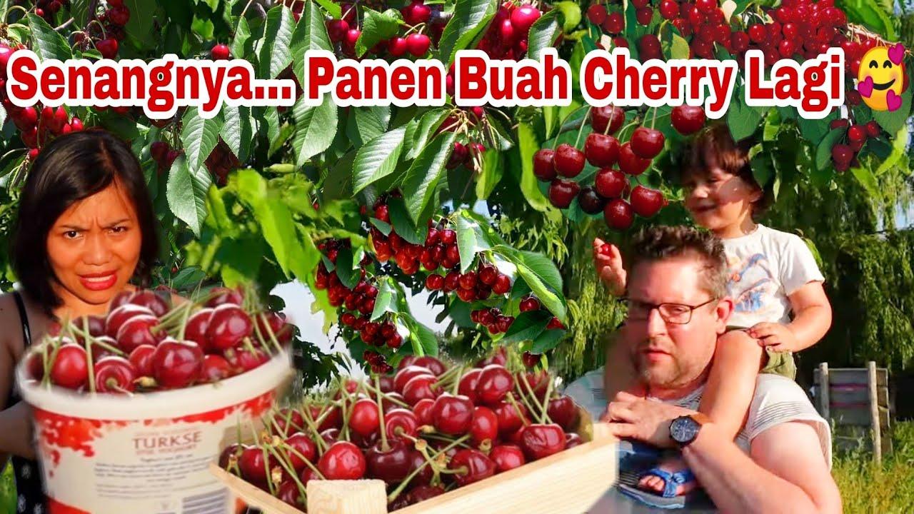 PANEN BUAH CHERRY GRATIS, SUAMI DAN ANAK HEBOH BANGET