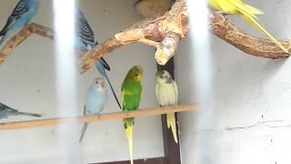 Обзор волнистых попугаев.