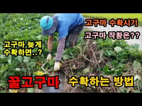 고구마재배방법 고구마수확하는방법 꿀고구�