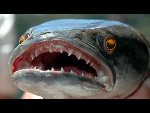CANAVAR DEV YILANBAŞ SONUNDA YEDİ !!! - Canavar Balıklar