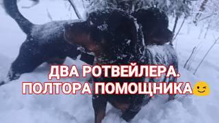 ДВА РОТВЕЙЛЕРА. ПОЛТОРА ПОМОЩНИКА 😉.воспитание и дрессировка собаки