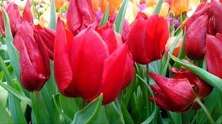 Тюльпан от РОНАЛДО  С Праздником!  Живые цветы в оранжерее Аптекарского огорода