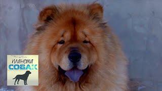 Чау-чау. Планета собак 🌏 Моя Планета