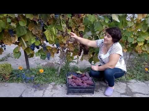 Виноград Изабелла-палочка-выручалочка(всегда с урожаем).
