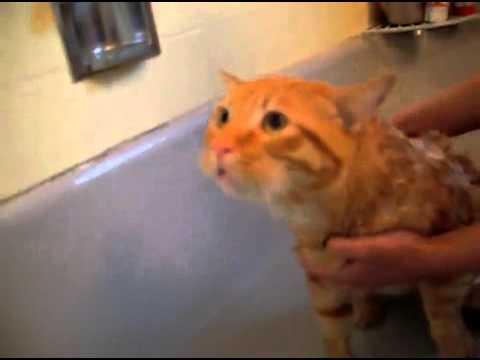 """◄► Ce chat dit clairement """"non"""" à sa douche (LEEE PAUUUUVRE)"""