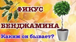 ФИКУС БЕНДЖАМИНА