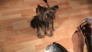 Yorkshireterrierstud.com - Yogi Doing Tricks - Pure Breed Akc Yorkshire Terrier Yorkie Stud Service!