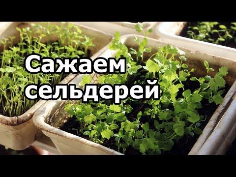 Купить семена сельдерея корневого и листового