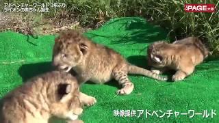 ライオンの3つ子赤ちゃん誕生──。和歌山県白浜町の動物園、水族館、遊園...