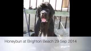 My Newfoundland Dog: Honeybun At Brighton Beach 29 Sep 2014 (with Parker And Belly)