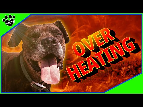 Dog Overheating - Signs, Prevention & What To Do
