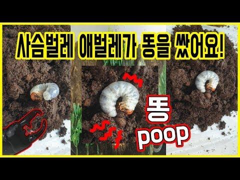 사슴벌레 애벌레가 똥을 쌌어요! 아리미놀이터에서 살고있는 넓적사슴벌레를 소개합니다 :D The Stag Beetle Larvae Pooped!!!