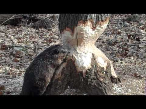 Beaver Cutting Tree Day 24