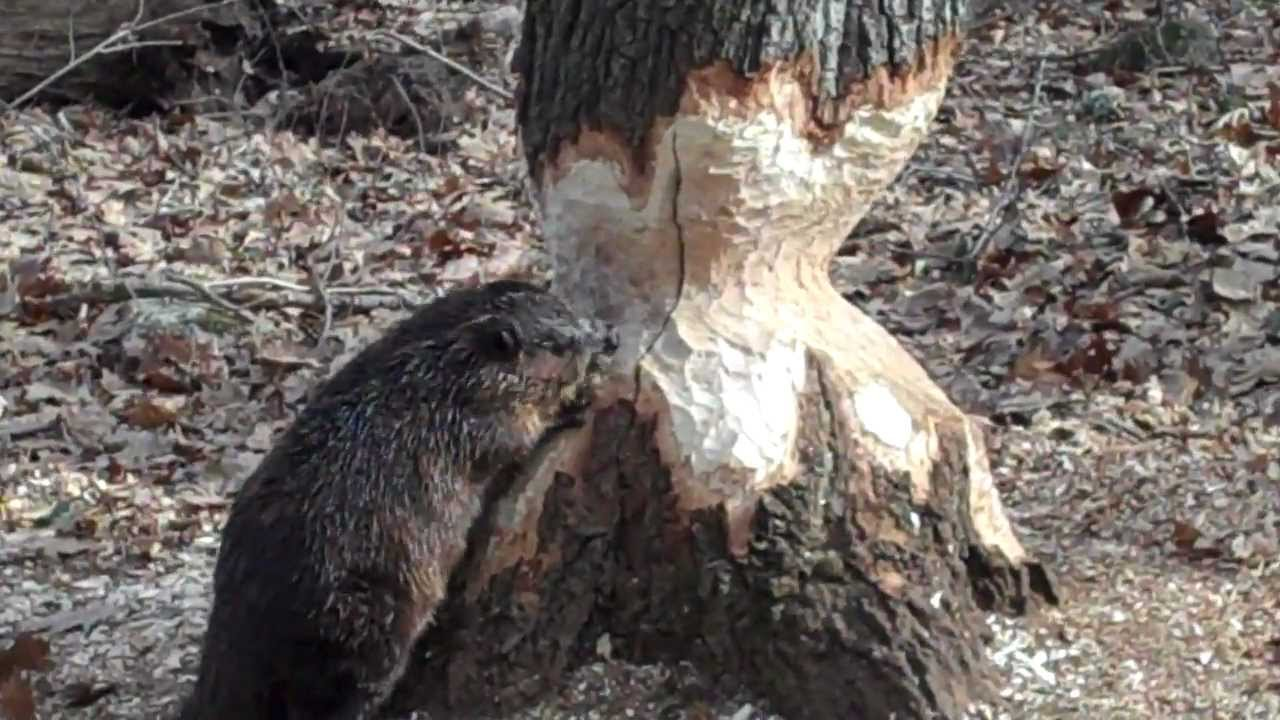 Beaver Cutting Tree Day 24 - YouTube