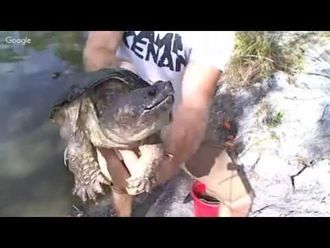 Kamp Kenan Pond and Snapping Turtle Live!