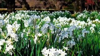 TOKYO  JAPAN 新宿御苑 初春のスイセン Daffodil Garden in Tokyo   花の名所 花見頃 新宿観光 thumbnail