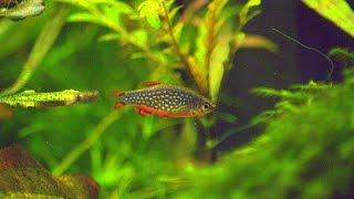 Нано-рыбки для креветочника  расбора
