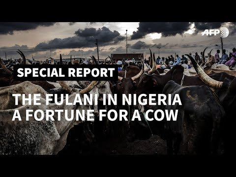 PART I - The Fulani in Nigeria: a fortune for a cow I AFP